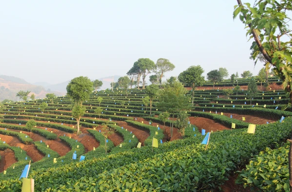 Zuxiang Organic Tea | Evermore