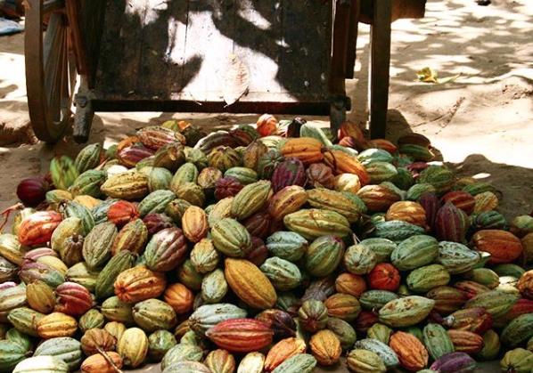 Verschillende cacaosoorten van MIA | Evermore