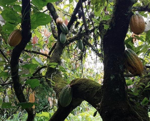 Cacaobomen in Kameroen voor Mesjokke chocolades | Evermore