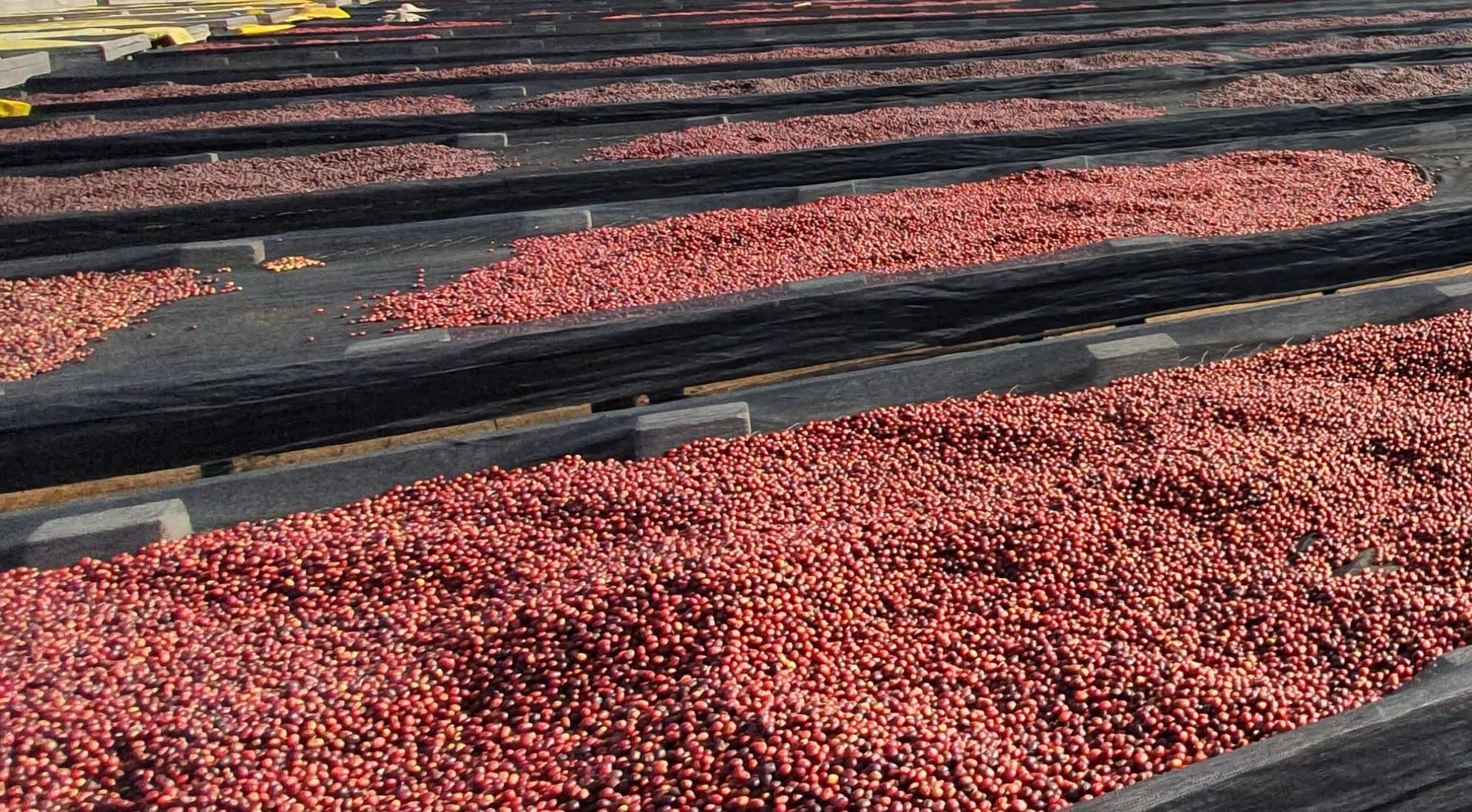 Uganda Raised Coffee Beds