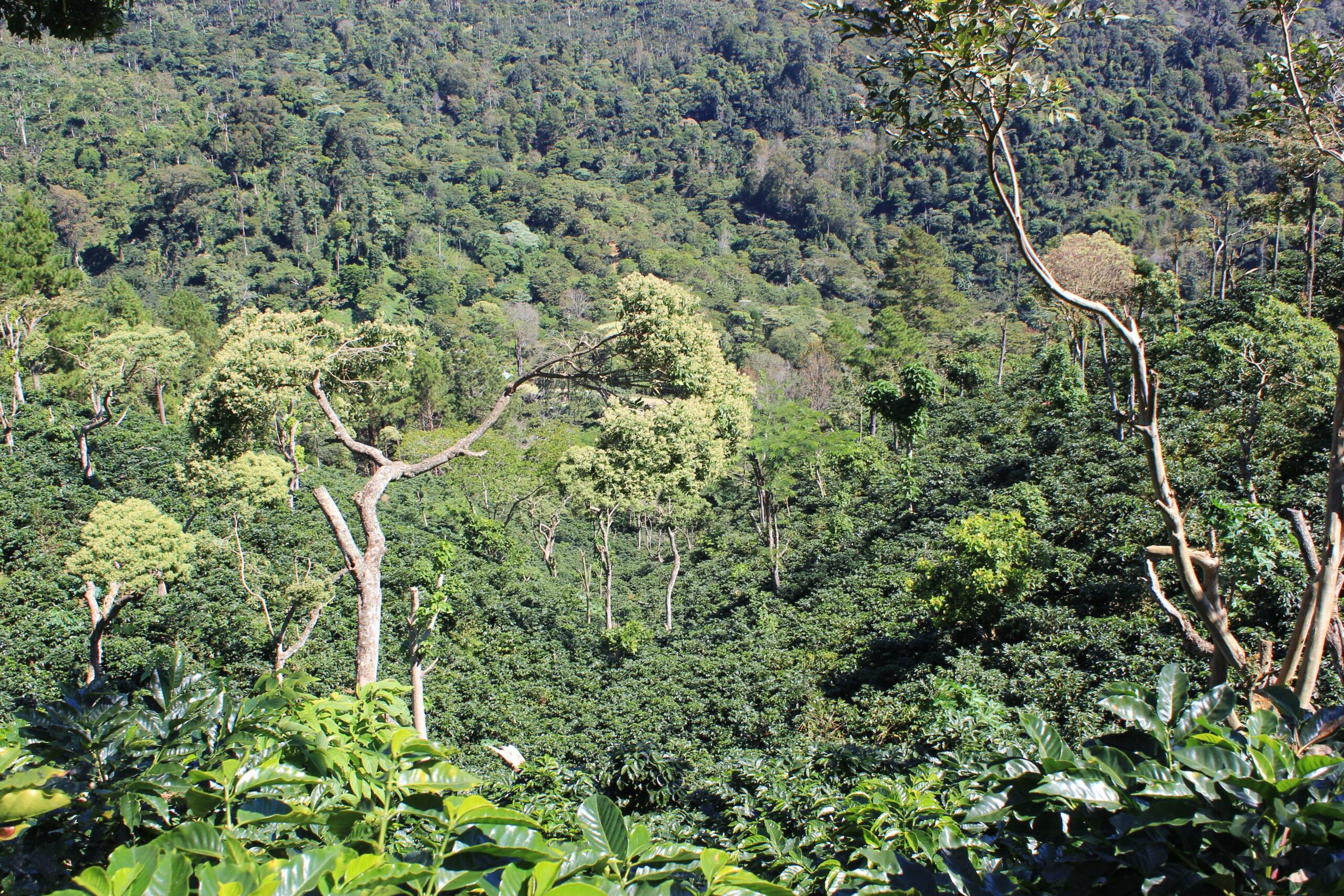 Waarom shade-grown coffee ecosystemen versterkt
