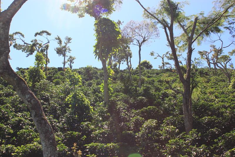 Koffie in halfschaduw in Nicaragua