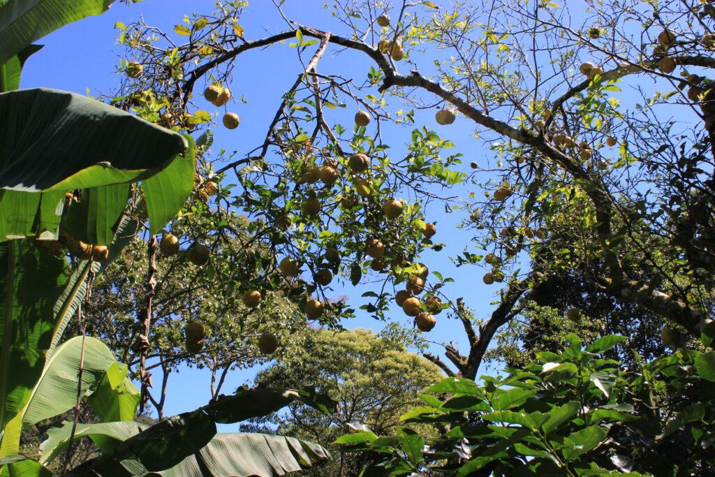 Combinatieteelt koffie Nicaragua