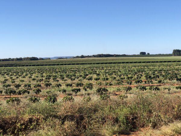Coffee trees at Fazenda Catanduva